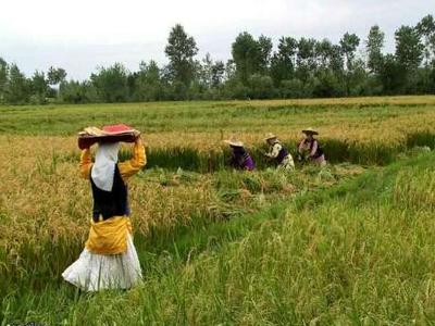 Rice harvest in Gilan.jpg
